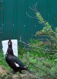 Muscovy Duck 2