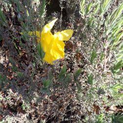 Daffodil peaking through